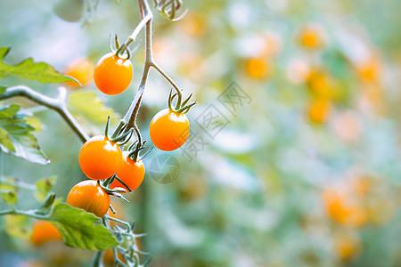 樱桃番茄图片