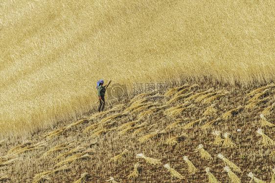 秋收时节收获麦子图片