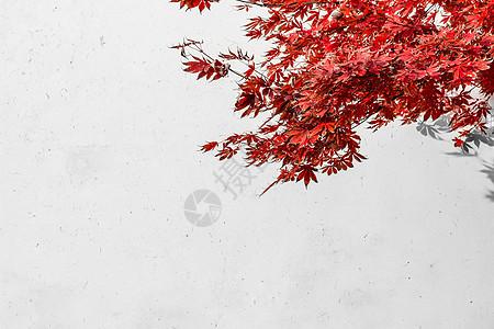 秋天白墙红叶图片