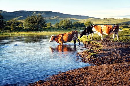 草原上河边的牛群图片