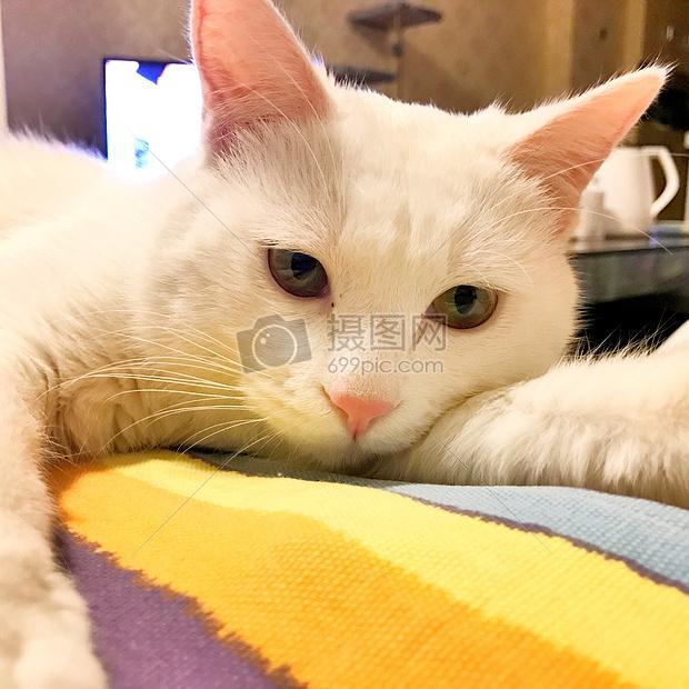 标签: 猫咪白色歪头可爱卖萌动物猫咪图片猫咪图片免费下载 版权申明