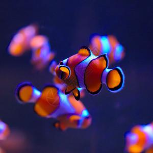 尼莫海水小丑鱼鱼缸图片