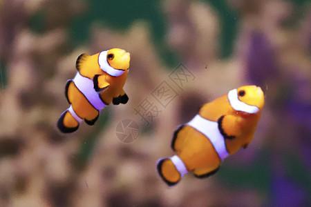 珊瑚里的小丑鱼图片