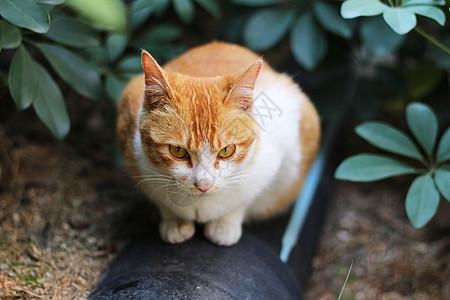 橘猫猫咪图片
