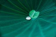 晶莹剔透的露珠图片