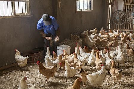 山地养殖本鸡土鸡图片