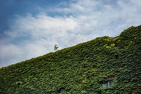 清华大学里爬满爬山虎的教学楼图片