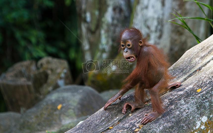 红毛猩猩摄影图片免费下载_动物图库大全_编号-摄