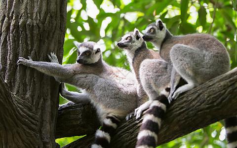 树上的小浣熊图片