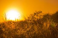 日出阳光下的秋意草丛图片