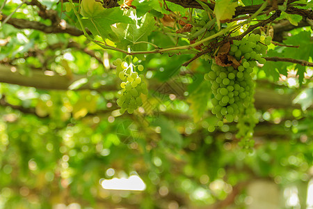 新疆葡萄图片