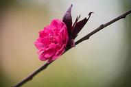 春天的一朵桃花图片