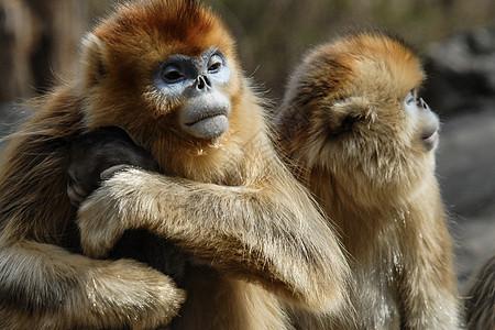 武当山神农架景区国宝金丝猴图片