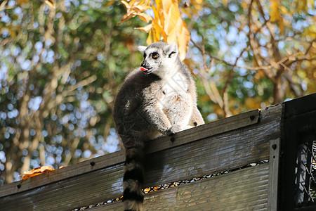 吃东西的节尾狐猴图片