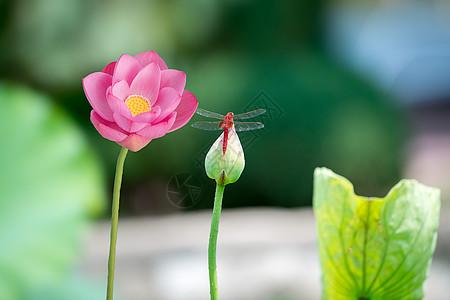 荷花蜻蜓图片
