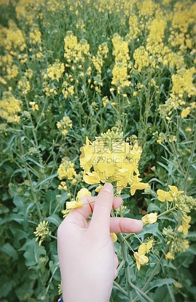 油菜花开图片