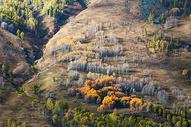 新疆禾木草原秋景黄叶图片