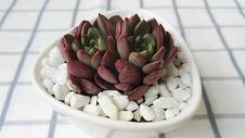 红宝石多肉植物图片