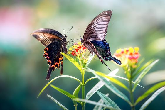 花丛中的两只蝴蝶图片