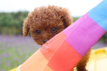 泰迪小狗狗图片