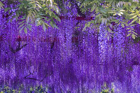 紫藤花图片