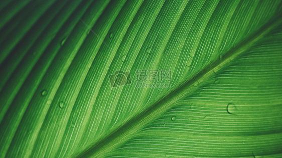 雨后清新树叶水滴纹理特写背景图片