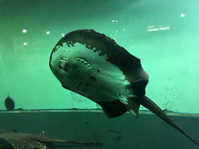 水族馆里的奇特生物蝠鲼图片