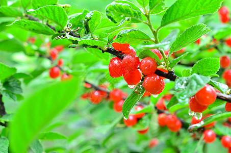 红红的樱桃图片