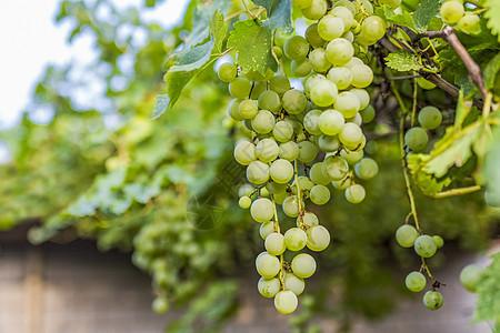 夏天绿色葡萄图片