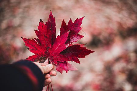 枫树林里秋天的落叶图片