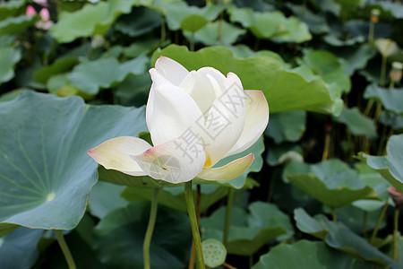 莲花池公园赏荷图片