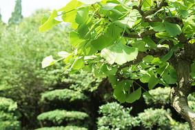 夏日里的银杏叶绿色嫩叶写景图片