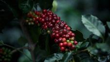 丰收的咖啡豆果实图片