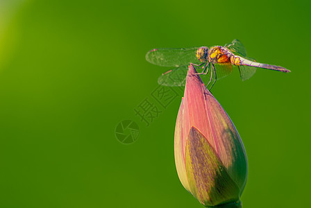 停在荷花上的蜻蜓图片