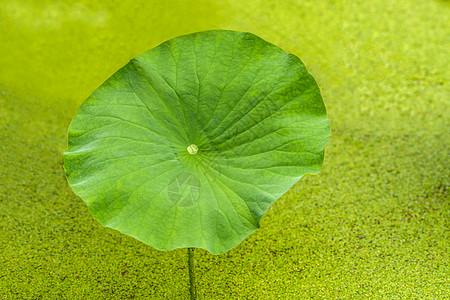 池塘荷叶图片