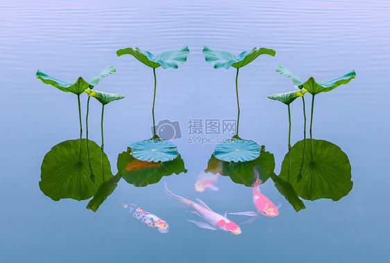 荷叶倒影锦鲤图片