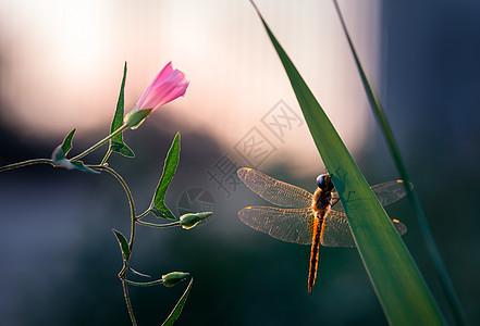 粉色野花与蜻蜓图片