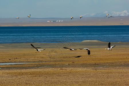 青海湖耳海边的海鸥图片