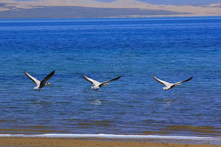 青海湖斑头雁图片