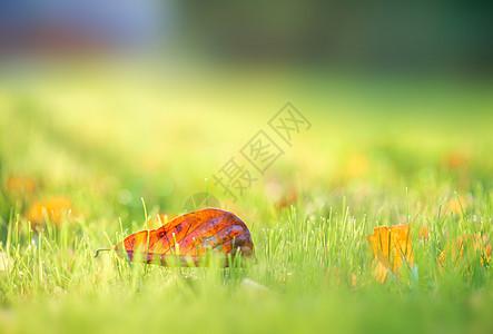 午后阳光洒在草坪红叶上图片