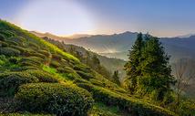 山中茶园图片