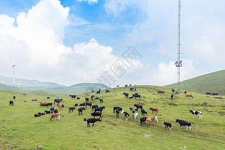 贵州乌蒙大草原遍地的牛羊图片