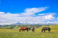 甘肃张掖康乐草原上的牧马图片