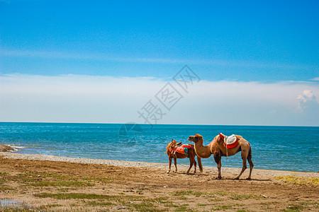青海湖边的骆驼图片