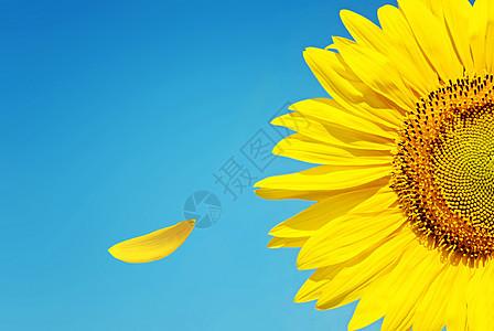 蓝色天空下的向日葵图片