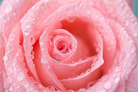 绽放粉红玫瑰图片