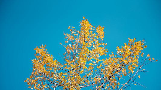立秋秋天银杏黄叶图片