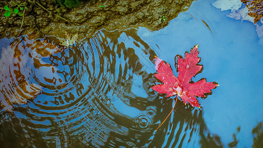 秋天红色枫叶漂在水面图片