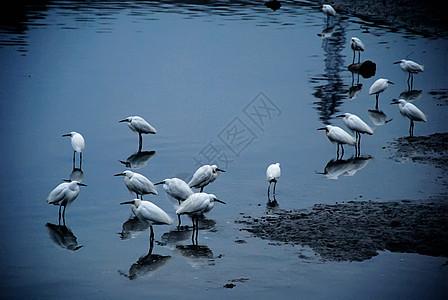 一群在厦门沙坡尾歇息的白鹭鸟图片