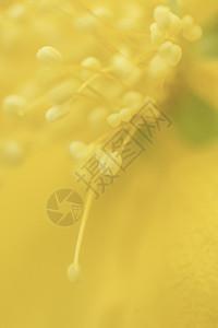 黄色花蕊微距铁鞋图片